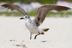Seagull on the beach. Seagull with open wings on the beach of Mexico Royalty Free Stock Photography