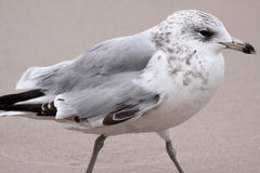 Seagull on the Beach. A close up of a seagull on the beach Stock Photography