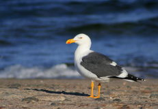 Seagull on the Beach Royalty Free Stock Photo