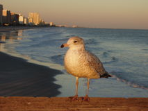 Seagull at the Beach. A seagull stands on a wooden pier with the shoreline, sunset-reddened sky, and city of Myrtle beach, SC, U.S.A. in the background Stock Photography