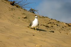 Seagull on the beach Stock Images