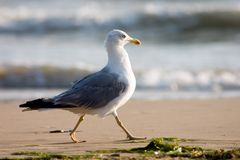 Seagull on the beach. Running seagull Stock Photography