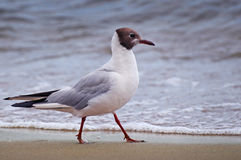 Seagull on beach Royalty Free Stock Photos