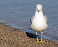 Seagull On The Beach Royalty Free Stock Photos