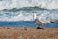 Seagull on the beach Royalty Free Stock Images