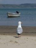 Seagull on the beach. Seagull on Weymouth beach, Dorset, England Stock Image