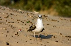 Seagull on the beach. Seagull on the sand beach Royalty Free Stock Image
