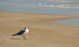 Seagull on the Beach. In Matagorda, Texas Stock Images