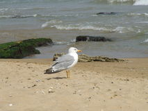 Seagull on the beach. Seagull on the Golden Sands beach Royalty Free Stock Photo