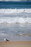 Seagull on the beach. A seagull takes a stroll down the beach Royalty Free Stock Image