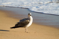 Seagull on beach. Seagull in autumn on beach throwing long shadow Stock Photography