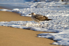 Seagull on beach. Seagull in autumn on beach throwing long shadow Royalty Free Stock Photos