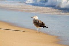 Seagull on beach. Seagull in autumn on beach throwing long shadow stock photos