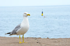 Seagull on a beach Royalty Free Stock Images