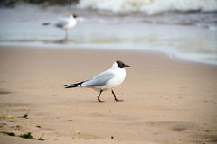 Seagull on the beach. Royalty Free Stock Image