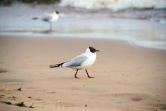 Seagull on the beach. Beautiful bird wildlife. Surf the waves. Closeup. The bird close. The coast of the ocean Royalty Free Stock Image