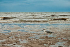 Seagull on the beach of Blackpool, view to wet beach and sea. Seagull on the beach of Blackpool, view to wet beach and ocean Royalty Free Stock Photo