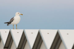 Seagull on beach cabana Royalty Free Stock Photography