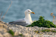 Seagull on the beach. Seagull close-up on the seashore Royalty Free Stock Photo