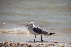 Seagull on Beach Stock Image