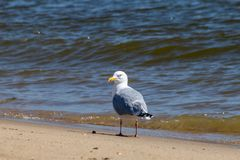 Seagull on beach at edge of the ocean royalty free stock photography