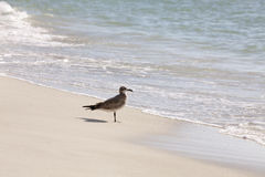 Seagull on the beach Royalty Free Stock Image