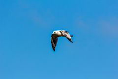 Seagull on beach. Seagull flying on beach, blue sky landscape Royalty Free Stock Photo