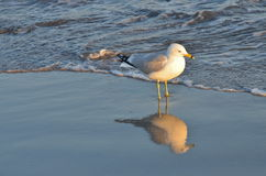 Seagull on the beach in front of waves, NYC stock photography
