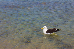 Seagull on the beach. Gaivota Stock Photos