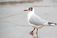 Seagull at the beach has its feet in the water Stock Images