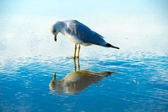 Seagull on the beach with her reflection on the water, before sunset time. stock photo