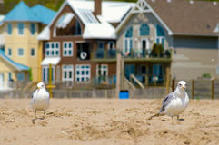 Seagull on the beach with houses in background. Seagulls on the beach on one of the Great Lakes with holiday houses in background Stock Photos