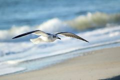 Seagull at the Beach. A seagull looking for food along the beach of Long Beach Island. Scanning the ground for any leftovers from beach goers Royalty Free Stock Images