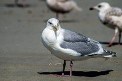 Seagull on beach Stock Photo