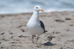 Seagull at the beach in Malibu, California. Seagull posing for a portrait at the beach in Malibu, California Stock Image