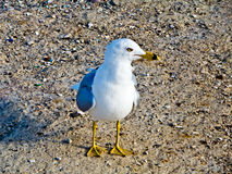 Seagull on the beach. The seagull is a medium-sized seabird, although common, lets not be beautiful and striking stock photos