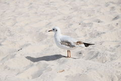 Seagull on the beach Stock Image
