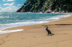 Seagull on the beach, Nelson Area, New Zealand. Seagull on the beach. View to the ocean, beach and cliff with green trees. Blue sky with clouds. Nelson Area, New royalty free stock photos