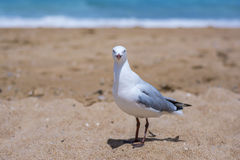 Seagull on a beach in New South Wales, Australia. A seagull on a beach in New South Wales, Australia Royalty Free Stock Photography