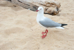 Seagull at the beach Royalty Free Stock Photo
