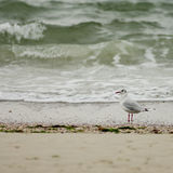 Seagull on the beach. A seagull at the beach in Ocean Grove - a small beach town New Jersey Royalty Free Stock Photo