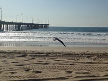 Seagull at the beach by the pier, California, USA.  Royalty Free Stock Photos