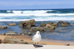 Seagull at the beach Royalty Free Stock Photography