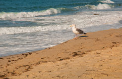Seagull on Beach Sand Royalty Free Stock Photography