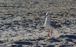 White seagull on grey beach sand. On sunny day royalty free stock photos