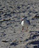 White Seagull on grey beach sand. On sunny day stock photography
