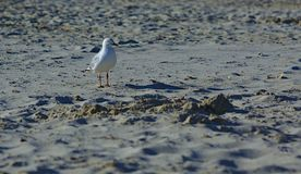 White Seagull on grey beach sand. On sunny day stock images