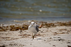 Seagull on Beach Stock Images