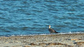 A seagull on the beach stock video footage