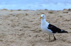 Seagull in a beach royalty free stock photo